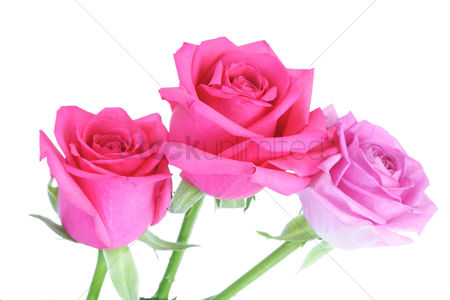 Romantic : Close-up of pink rose on white background