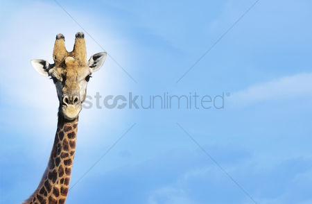 Animal : Maasai giraffe  giraffa camelopardalus  against blue sky