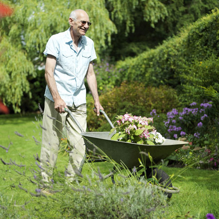 Environment : Senior man pushing a wheelbarrow of plants in the garden