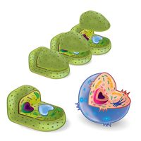 A set of plant cells and an animal cell