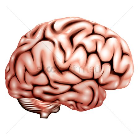 Free Human Brain Anatomy Stock Vectors Stockunlimited