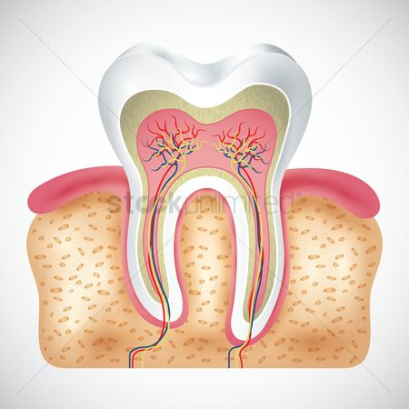 Biology : Cross-section of tooth