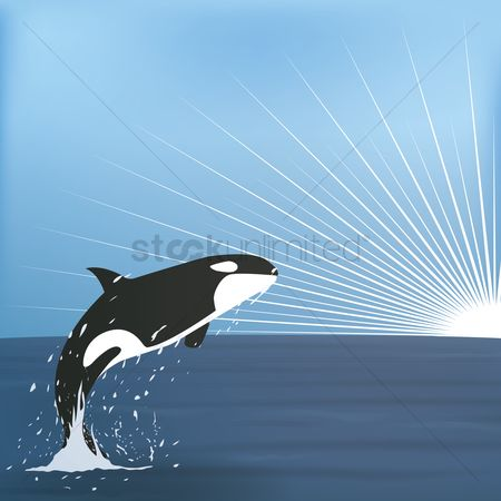 Ocean : Orca jumping from the sea waters