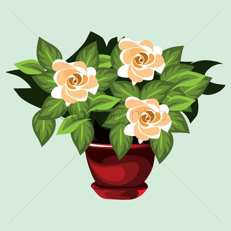 Flower pot : Rose flower plant in pot