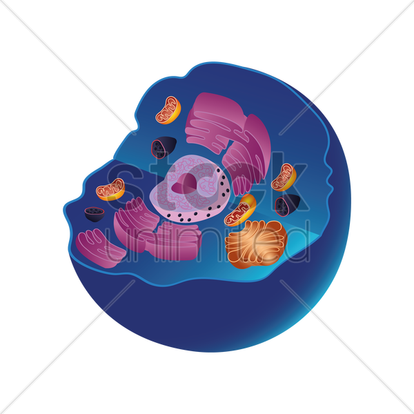 Anatomy of animal cell Vector Image - 1870109 | StockUnlimited