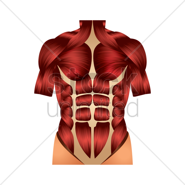 Chest Muscles Vector Image 1866273 Stockunlimited