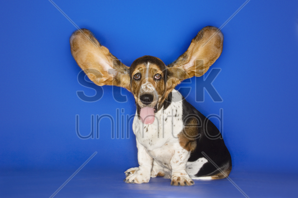basset hound with ears extended stock photo