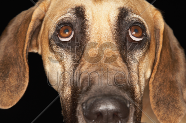 brazilian mastiff (fila brasileiro) close-up stock photo