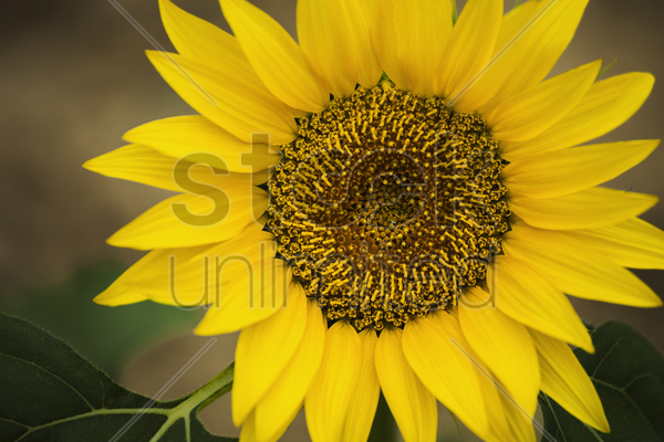 Close-up of sunflower Stock Photo - 2095993 | StockUnlimited
