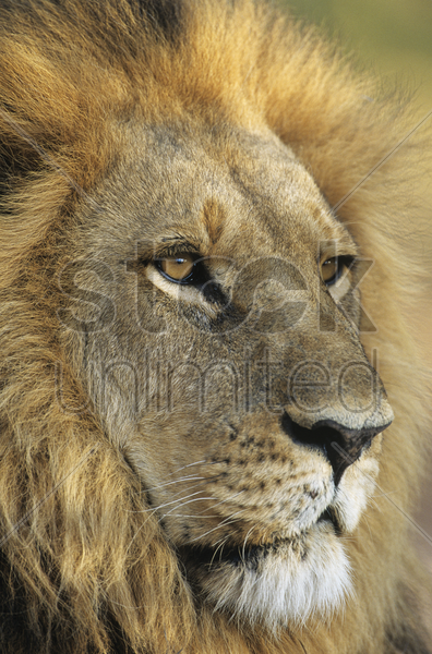 male lion close-up of head stock photo