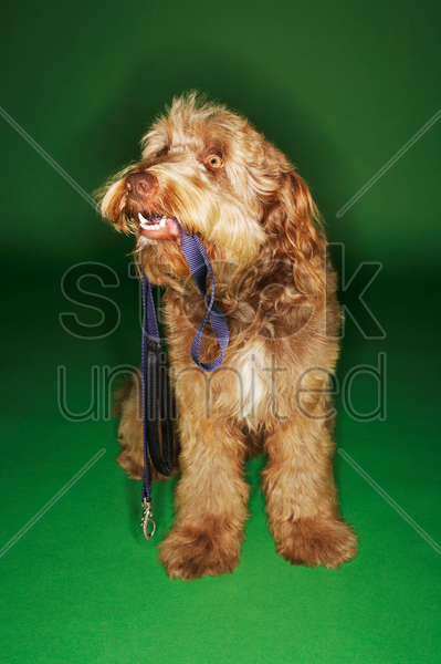otterhound sitting holding leash in mouth stock photo