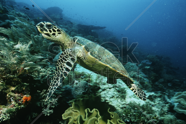 raja ampat indonesia pacific ocean hawksbill turtle (eretmochelys imbricata) cruising above coral reef stock photo