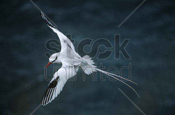 red-billed tropicbird flying above sea elevated view stock photo