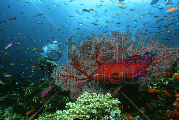 scuba diver coral grouper and school of fish on coral reef stock photo