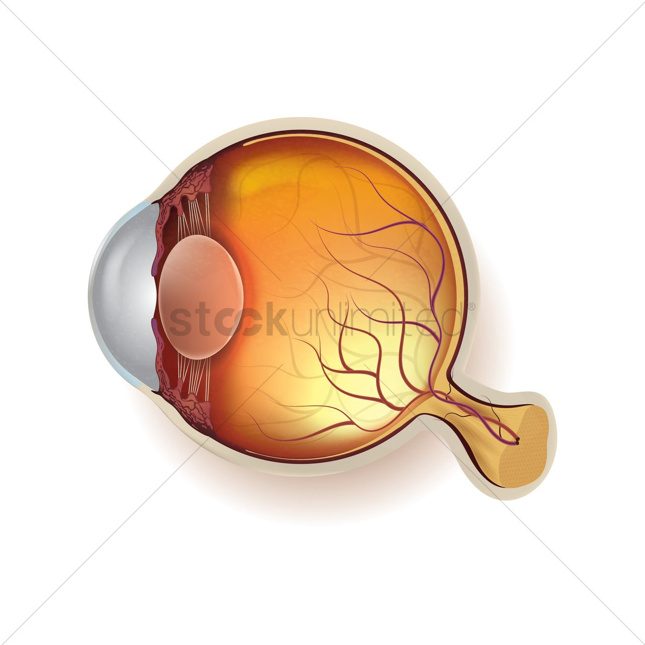 Anatomy of a normal eyeball Vector Image - 1866509 | StockUnlimited