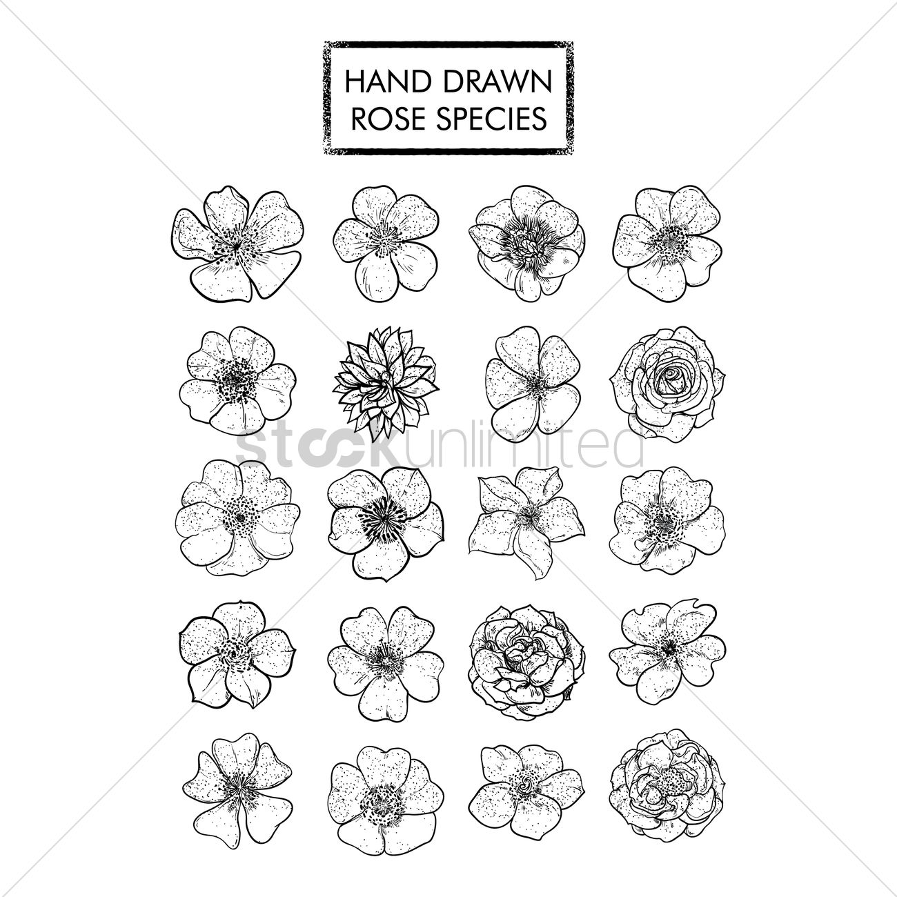 hand drawn rose species collection vector image 1529757