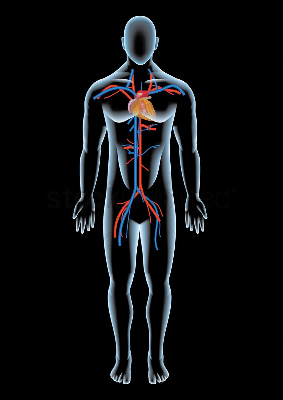 heart anatomy in a human body vector image 1866769 stockunlimited heart anatomy in a human body vector