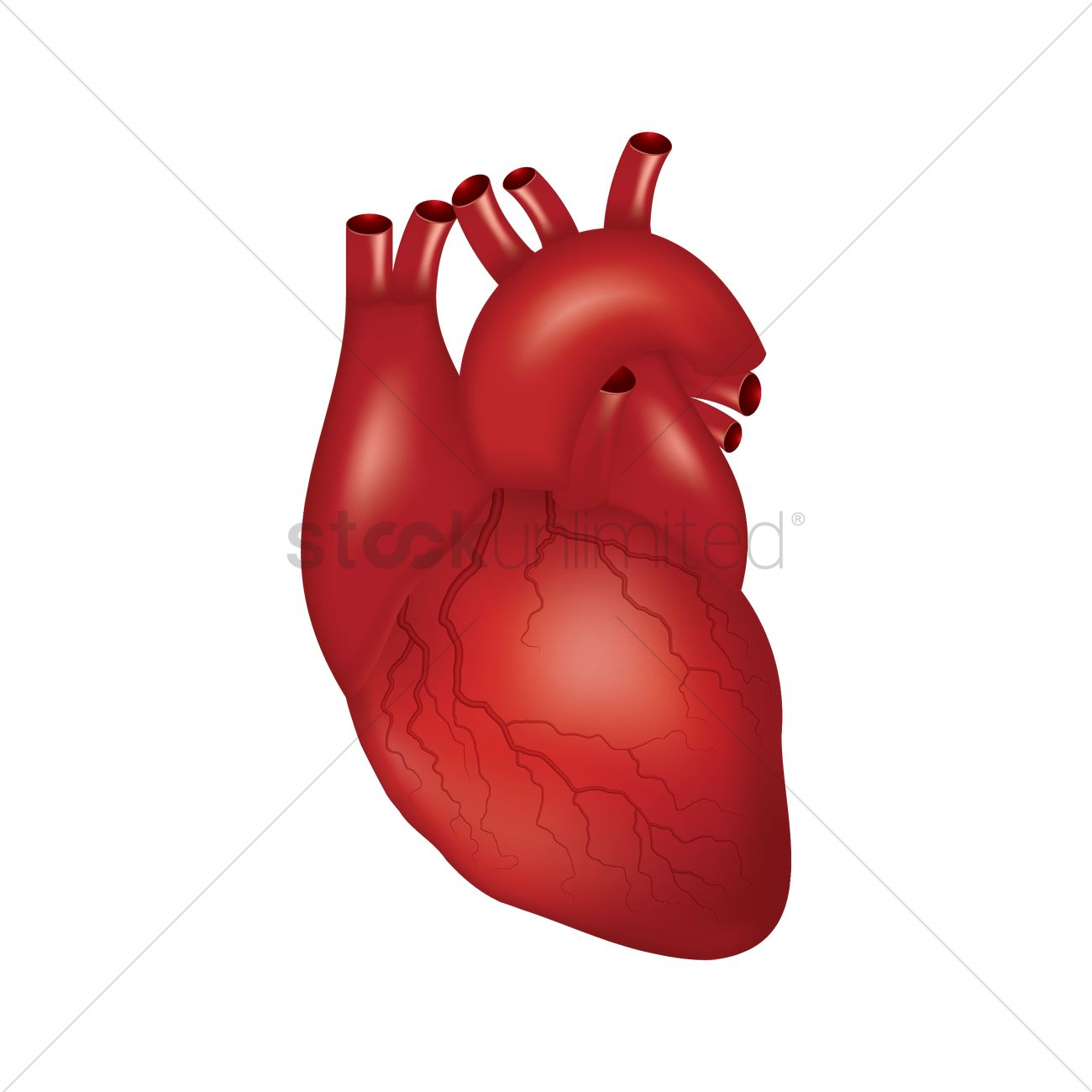 human heart vector image 1866249 stockunlimited rh stockunlimited com human heart vector image human heart vector art