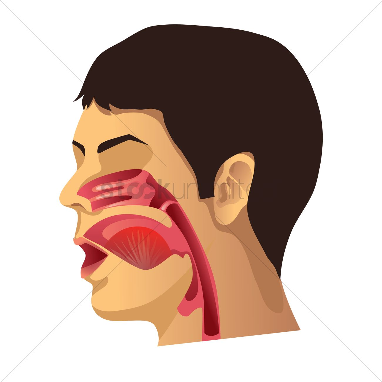 Human Throat Anatomy Vector Image 1759429 Stockunlimited