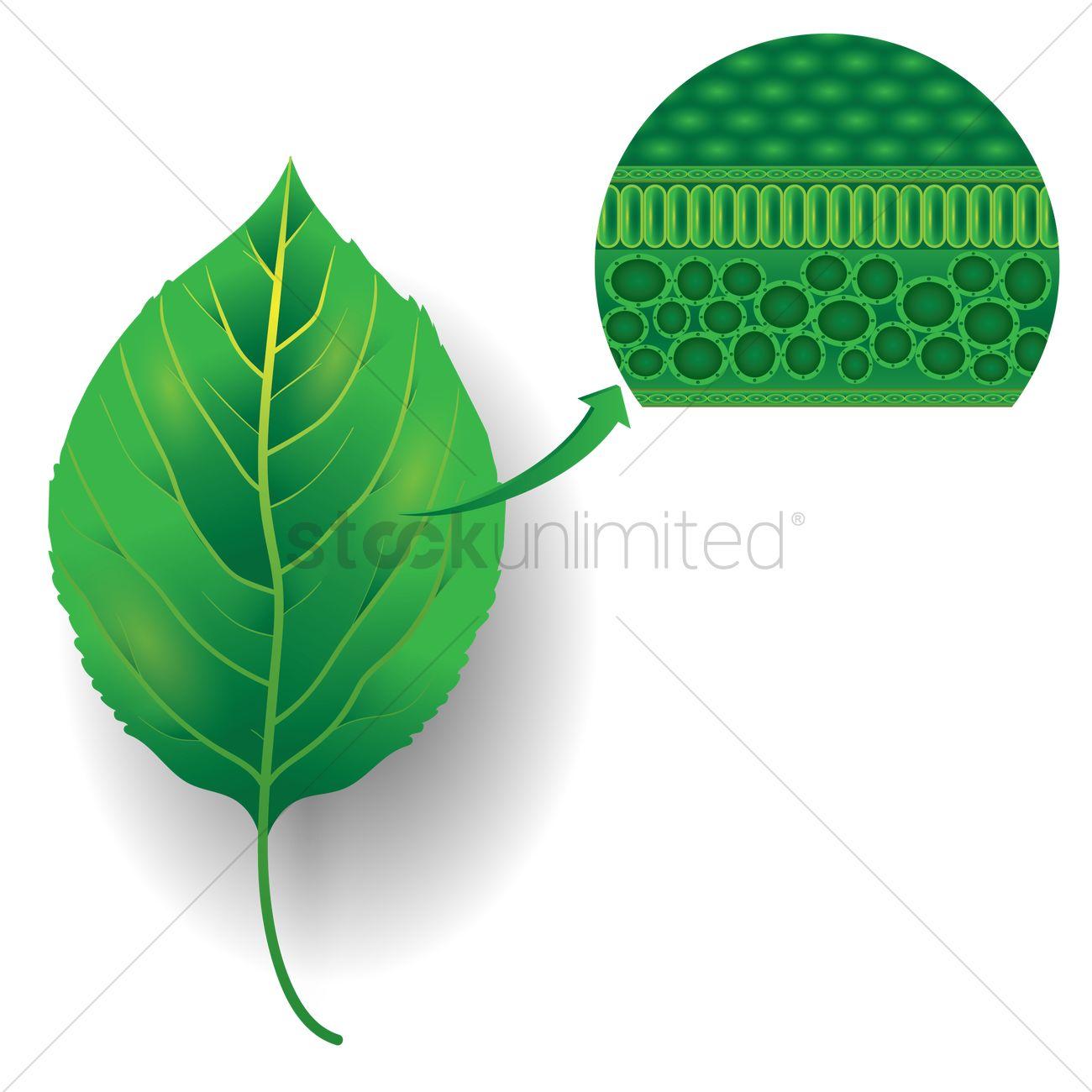 Leaf chlorophyll Vector Image - 1870117 | StockUnlimited