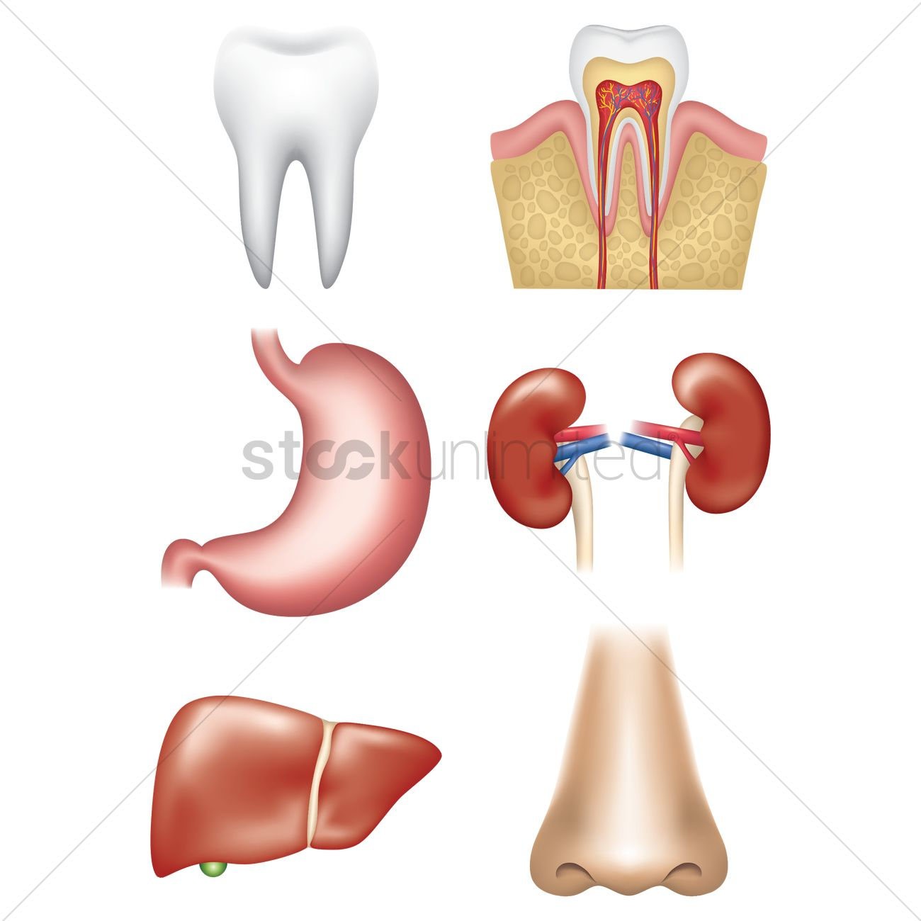 Set Of Internal Organs Vector Image 1759177 Stockunlimited