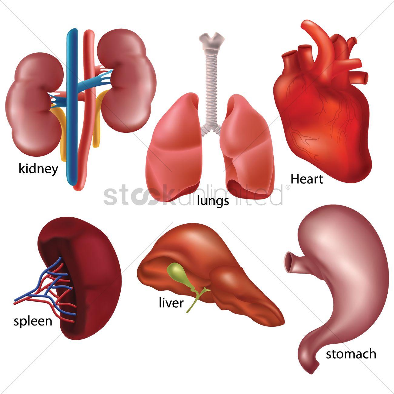 Set Of Internal Organs Vector Image 1823001 Stockunlimited