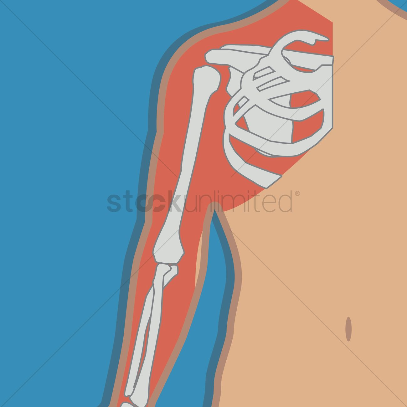 Free Shoulder Joint Anatomy Bones Vector Image 1277365