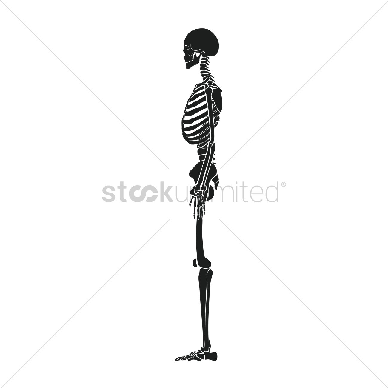 Side View Of Human Skeleton Vector Image 1516129 Stockunlimited