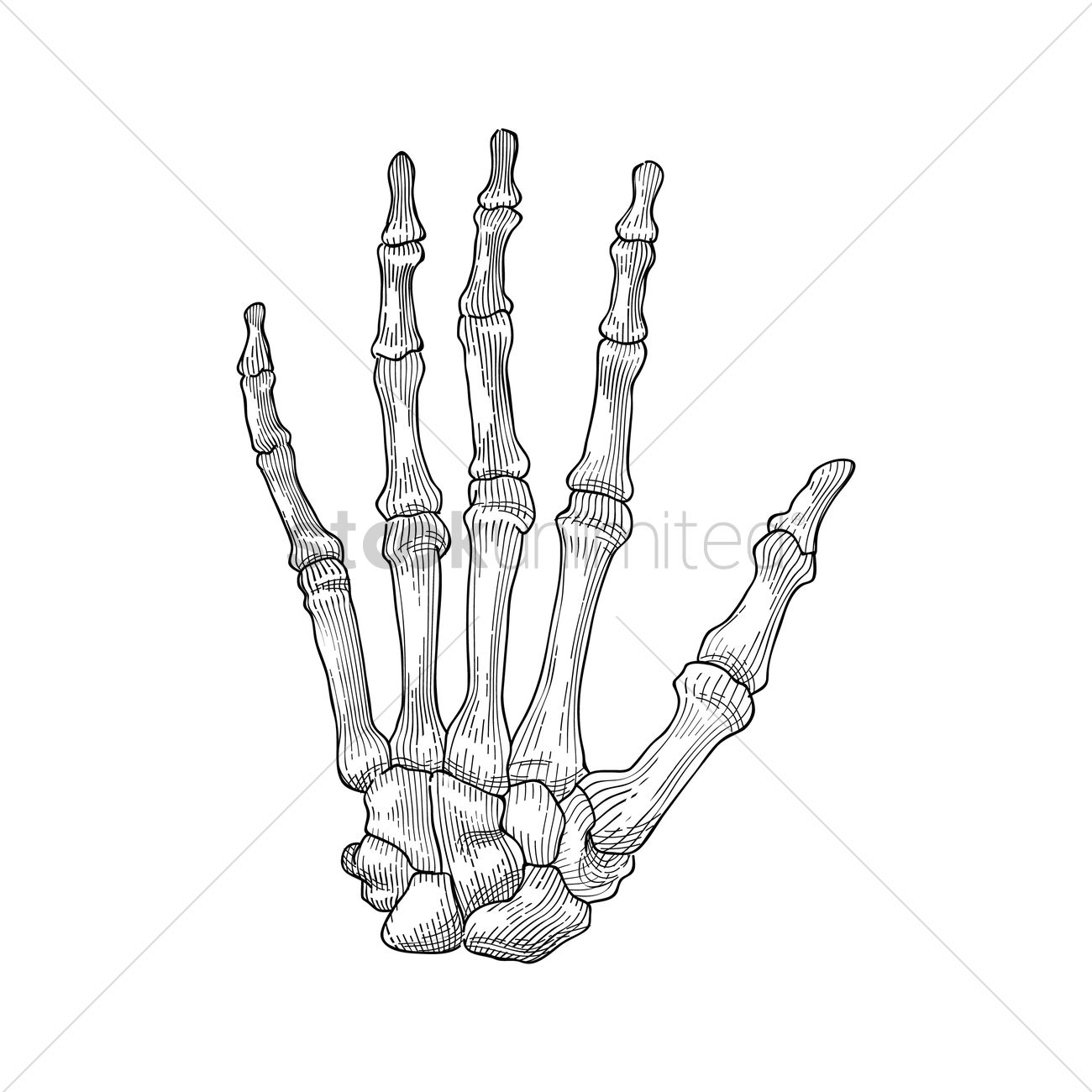 Skeleton hand Vector Image - 1807689 | StockUnlimited