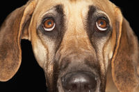 Brazilian mastiff  fila brasileiro  close-up