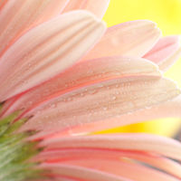 Close-up of a pink daisy