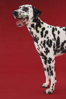 Dalmatian standing head and front legs side view