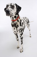 Dalmatian standing looking up