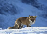 Fox on snow