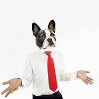 French bulldog business man with hands extended