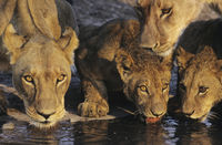 Group of lions drinking at waterhole close-up