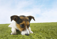Jack russell terrier lying prone in grass front view