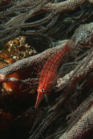 Mozambique indian ocean longnose hawkfish  oxycirrhites typus  on black coral  cirrhipathes sp   close-up