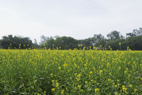 Mustard field  sohna  gurgaon  haryana  india
