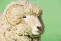 Popular : Ram on green background close-up of head