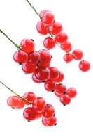 Studio shot of red currants