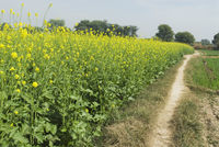 Trail along a mustard field  sohna  gurgaon  haryana  india