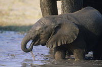 Young african elephant  loxodonta africana  drinking with mother at waterhole