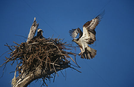 Animals in the wild : Adult osprey  pandion haliaetus  returning to nest with nestling