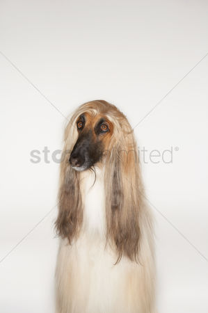Dogs : Afghan hound sitting front view