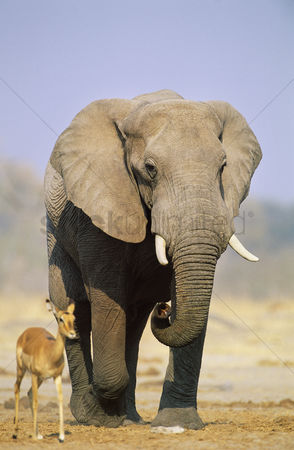 Animals in the wild : African elephant  loxodonta africana  and gazelle on savannah