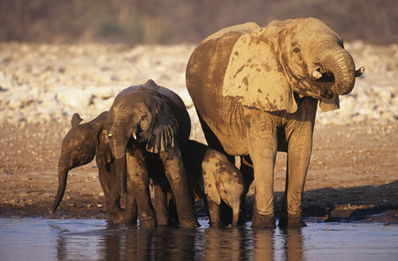 Animals in the wild : African elephant  loxodonta africana  with three young at waterhole