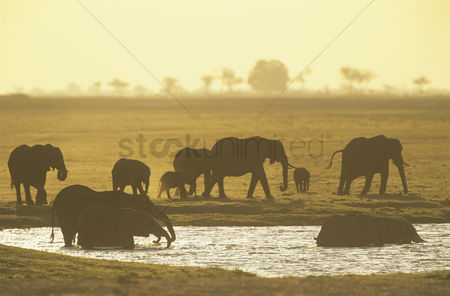 Large group of animals : African elephants  loxodonta africana  at waterhole