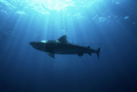 Animals in the wild : Aliwal shoal indian ocean south africa dusky shark  carcharhinus obscurus  low angle view