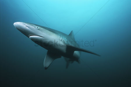 Animals in the wild : Aliwal shoal indian ocean south africa tiger shark  galeocerdo cuvieri  swimming in ocean